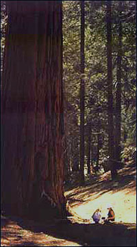 Giant redwood, sequoiadendron giganteum
