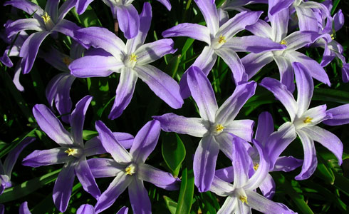 Glory-of-the-snow, Chionodoxa species