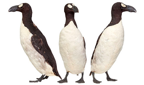 Great auk, Pinguinus impennis
