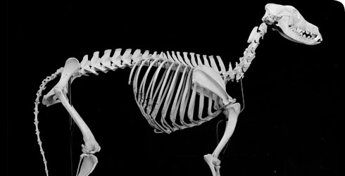 Skeleton of a greyhound
