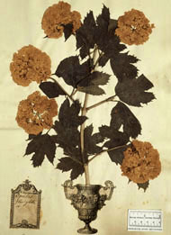 Herbarium sheet of the guelder rose, Viburnum opulus, from the Clifford collection