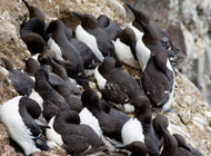 Colony of guillemots, Uria aalge, relatives of the great auk