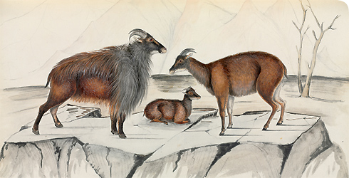 Watercolour of the Himalayan tahr, Hemitragus jemlahicus