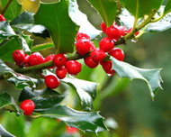 Holly (Ilex species) berries