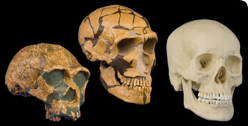 Skull reconstructions of 3 human species, Homo erectus, Homo neanderthalensis and Homo sapiens