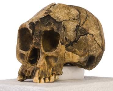 Skull of the 'hobbit', Homo floresiensis
