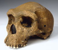 Replica of the Broken Hill skull, the finest known example of Homo heidelbergensis