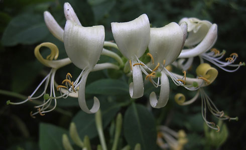 Honeysuckle, Lonicera periclymenum Epping