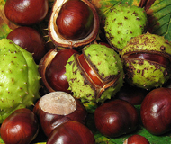 Horse chestnut fruit - the green husk contains the familiar shiny brown seeds, conkers