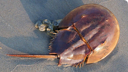 Horseshoe crabs seem indestructible - they have existed for at least 445 million years