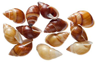 Shells of Polynesian tree snails, Partula species