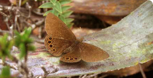 A new Colombian butterfly, Idioneurula donegani, discovered by Blanca Huertas in December 2007