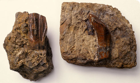 Two of the first Iguanodon teeth ever found