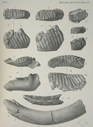 Illustration of dwarf elephant fossil remains found by Dorothea Bate