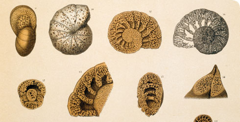 Illustrations of marine specimens produced for the Challenger Report