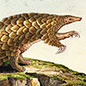 Indian pangolin, Manis crassicaudata, watercolour by Llewellyn Fidlor, 1827