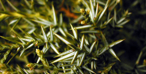 Juniper tree needles