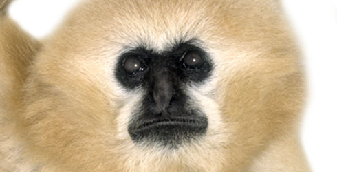 A Crested Gibbon's body hair