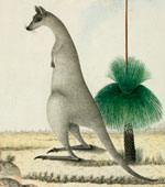 Eastern gray kangaroo and grass tree by George Raper