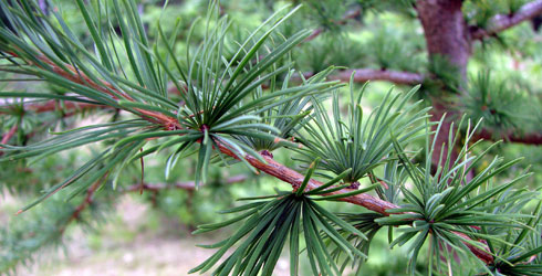 Larch tree needles