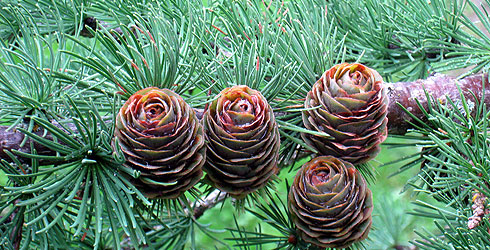 Cones of the larch tree