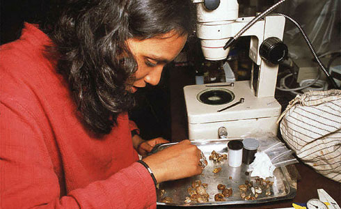 A scientist examining snails under a light microscope in Sri Lanka