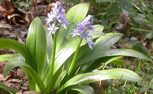 Pyrenean squill, Scilla liliohyacinthus