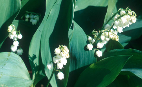 Lily of the valley, Convallaria majali