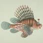 Watercolour of the red lionfish, Pterois volitans, from the John Reeves collection