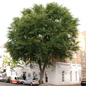 An elm tree in London
