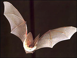 Long-eared bat, Plecotus