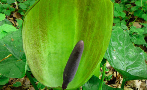 Lords-and-ladies, Arum maculatum