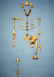 Cast of the famous Australopithecus afarensis skeleton known as Lucy
