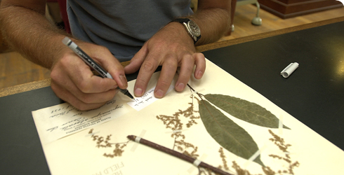 Botanist annotating herbarium specimen sheet at the Museum.