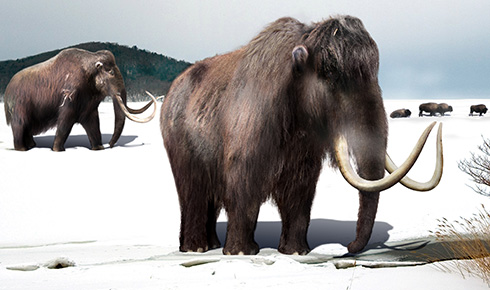 Woolly mammoth, Mammuthus primigenius