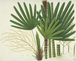 Mangrove fan palm watercolour from the John Reeves collection