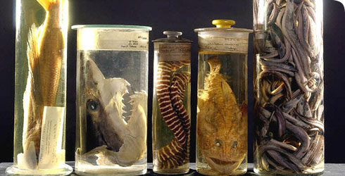 Specimen jars containing marine specimens, in the Museum's Darwin Centre.