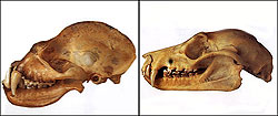 Skulls of a megabat (left) and microbat (right)