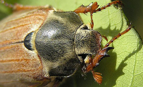 Adult cockchafer resting on a leaf during the day.