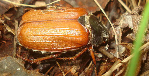 Adult cockchafer beetle resting on leaf litter during the day