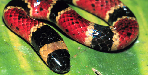 Variable coral snake, Micrurus diastema
