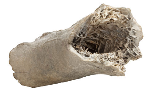 Fragment of bone of the moa species Dinornis novaezealandiae
