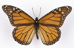 Monarch butterfly breaks the record for longest insect migration