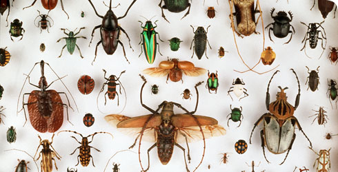 Beetle specimens from the Museum's collection