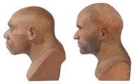 Neanderthal and modern human reconstructions