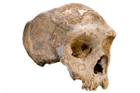 Adult female Neanderthal skull