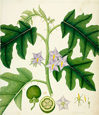 Nightshade, Solanum virginianum, watercolour, 1848
