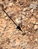 Meteorite found in the Nullabor Desert by one of the Museum's scientists.