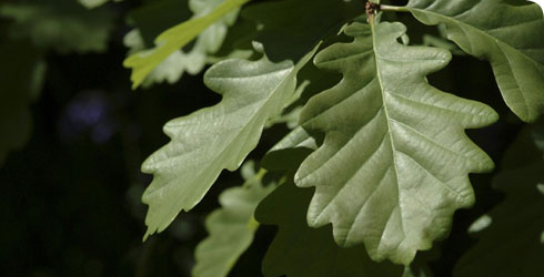Oak leaves in the Museum's Wildlife Garden