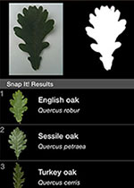 Leafsnap UK uses leaf shape recognition technology to suggest tree species your leaf could belong to